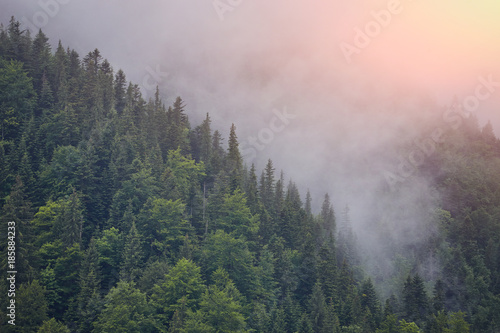 Foto op Canvas Bergen Forest with the conifer trees in mist