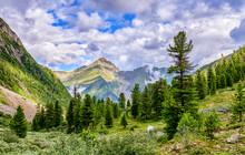Cedar Siberian Pines In Mountain Taiga