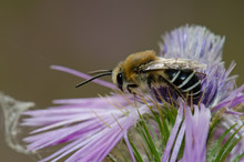 Bee (Amegilla Sp.) On A Purple...