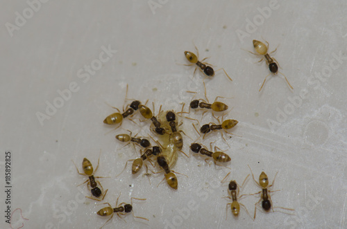Argentine ants (Linepithema humile) Wallpaper Mural