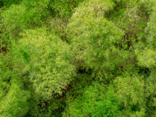 Green Bamboo Forest Top View