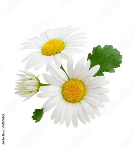 Spoed Foto op Canvas Madeliefjes Three chamomile or daisies with leaves isolated on white background