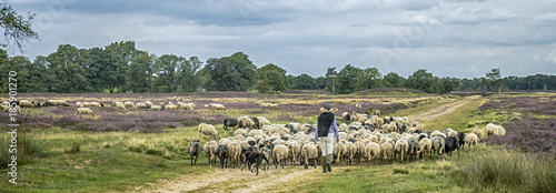 Canvas Prints Sheep Shepherd at Balloo