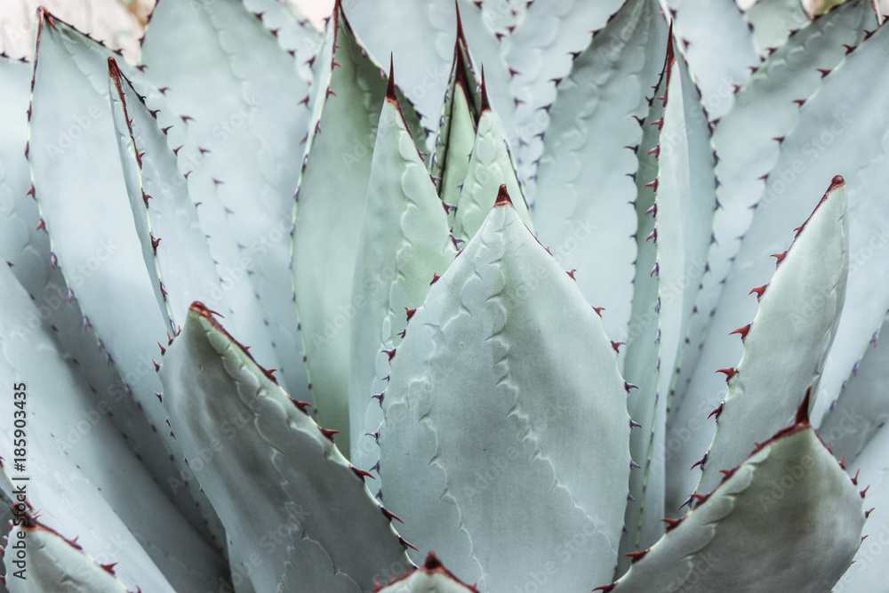 Fototapeta green succulent plant with thorn