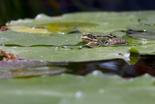 Frog Grenouille Verte Green Wa...