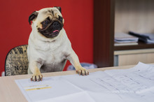 Dog Pug Breed Working On Table, Paws On The Table, Sent Chair With Engineering Plant.