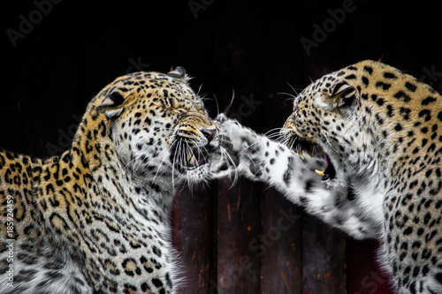 Poster Leopard Leopards Fighting