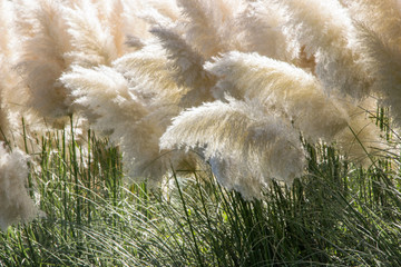 Fototapeta Ogrody white pampas grass (Cortaderia selloana) bushes in garden