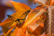 Monarch Butterfly On An Autumn...