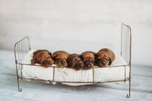 Five Newborn Miniature Dachshu...