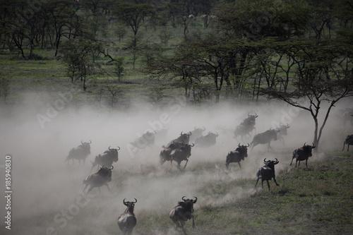Wildebeest Stampede 2