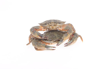 Two crabs on a white background, close-up