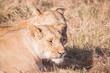 Lionesses in masai mara in kenya africa