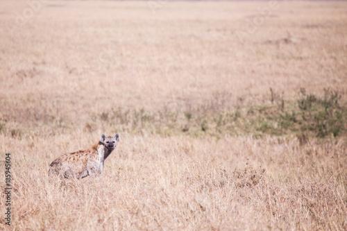 Poster Hyène Hyena in Masai Mara in Kenya, Africa