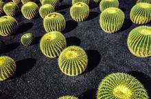 Pile Of Echinocactus Grusonii...