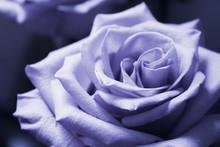 Lilac Rose On Black Background