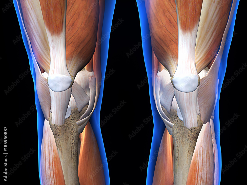 Knee Bone Cartilage And Muscle Anterior View Foto Poster