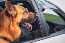 German Shepherd Dog With Head ...