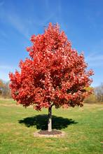 Vibrant Red Maple Tree In Autu...