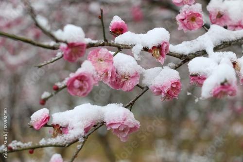 Foto op Plexiglas Magnolia plum blossom undersnow
