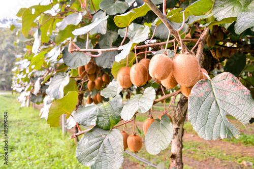 Photo Kiwi Fruit Plantaion Tree