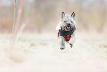 Running Cairn Puppy