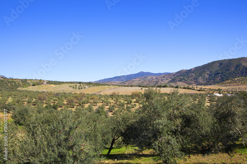 Foto op Canvas Khaki arid olive groves