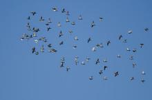 Large Flock Of Rock Pigeons Fl...