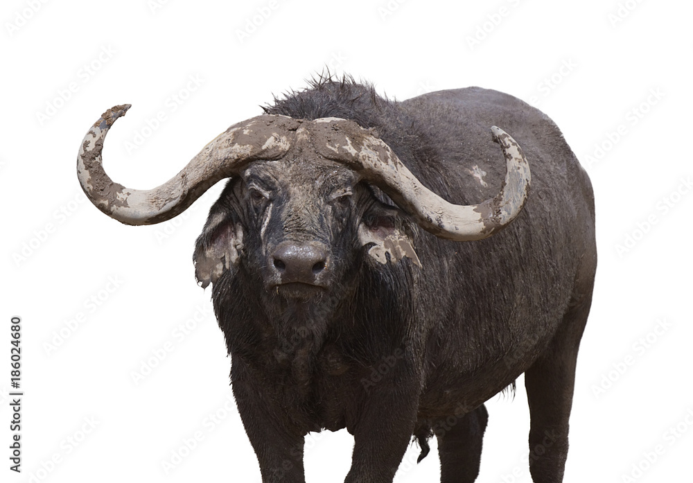 Fototapeta African buffalo looking in camera , is isolated on white background