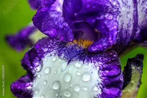 Spoed Foto op Canvas Iris The flower of a decorative iris growing in a summer garden.