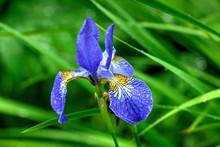 The Flower Of The Siberian Iri...