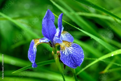 Spoed Foto op Canvas Iris The flower of the Siberian iris growing in a summer garden.