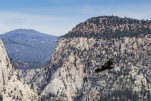 An Adult California Condor In Flight On Angel's Landing Trail In Zion National Park, Utah