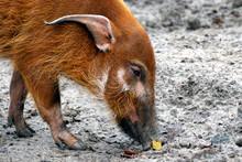 Red River Hog (Potamochoerus P...