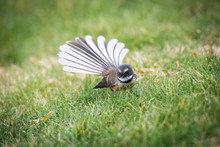 Fantail Piwakawaka Bird New Ze...