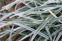 Grass Blades Under Hoarfrost Macro