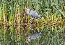 Grey Heron With Reflection In Vondelpark, Amsterdam.