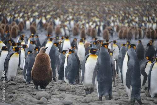 Fotobehang Antarctica Penguin colony on South Georgia island