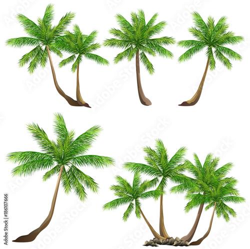 Coconut palm tree (Cocos nucifera) Wallpaper Mural