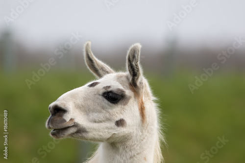 Fotobehang Lama White llama face close up. Funny looking animal image.