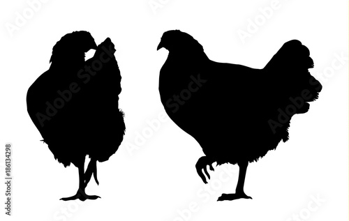 Vector silhouette of walking hen - side and front, isolated on white background Wallpaper Mural
