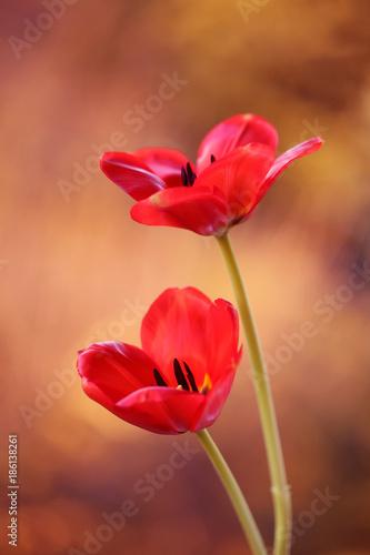 Obraz Tulipany czerwone - fototapety do salonu