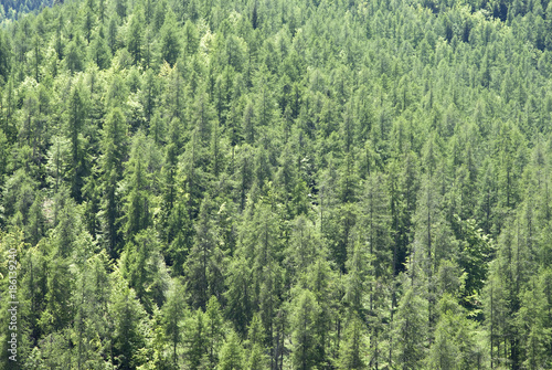 Wall Murals Forest Hills of dense vegetation and forests of larch and pine