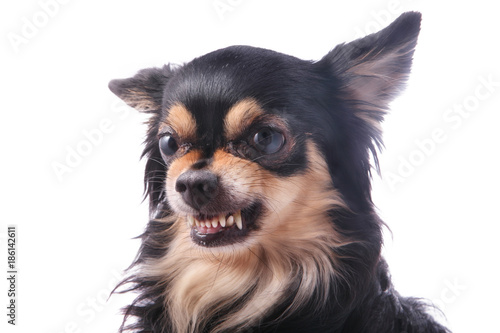 Evil dog Chihuahua growls and shows teeth Wallpaper Mural