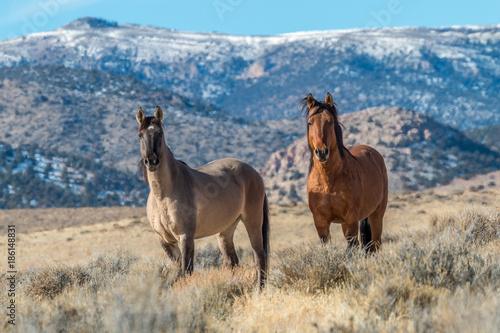 Photo  Wild Horse Stallions in the Desert
