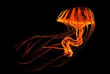 Red Yellow Striped Jellyfish -...