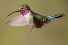 Gliding Hummingbird