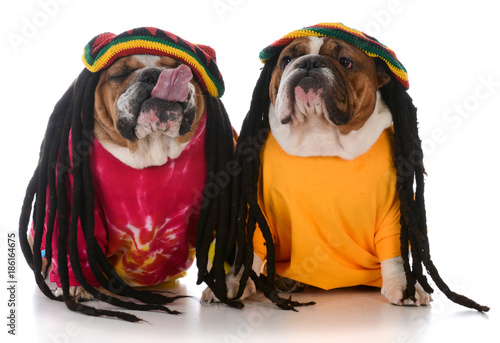 Fototapeta  two dogs with dreadlock
