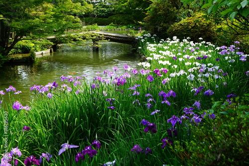 京都梅宮大社の花菖蒲