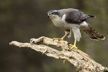 Adult Male Of Northern Goshawk...